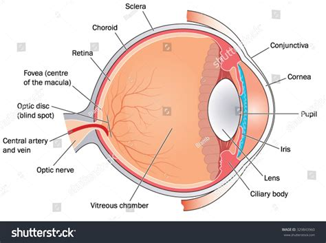 cross section of an eye cross section through the eye showing the major structures