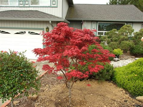 plantfiles pictures japanese maple purple ghost acer