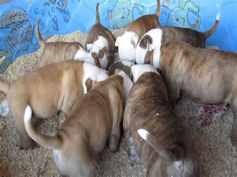 best food for american bully puppy 8 essential nutrients american bully puppies need to grow strong american bully daily
