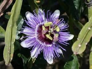 edible passion vine plant passiflora caerulea