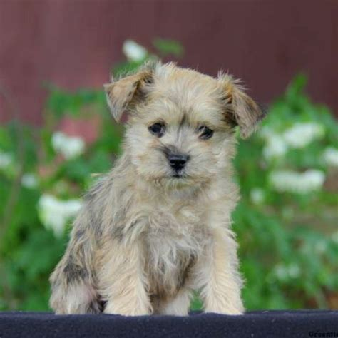 pomeranian miniature schnauzer mix puppies for sale in pa