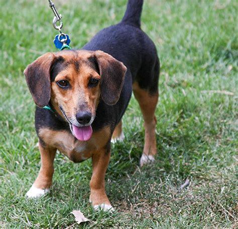 weiner mix doxle beagle x dachshund mix info temperament puppies pictures