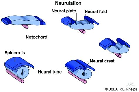 pattern formation notochord chapter 14b neurulation and limb development