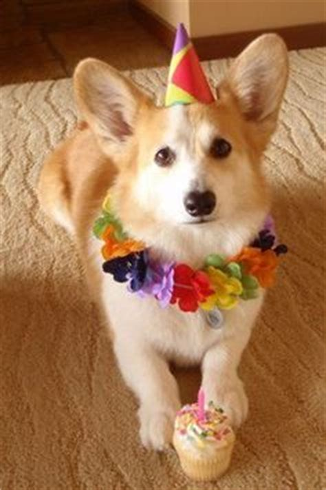 Corgi Birthday Meme - 1000 images about corgis in party hats on pinterest