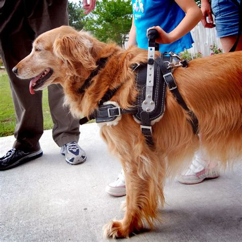 golden retriever service dogs mobility support harness for service on golden retriever ellie service vests