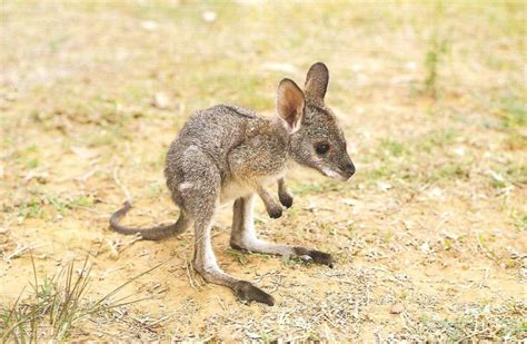 google images kangaroo soooo cute baby kangaroo x we heart it kangaroo baby