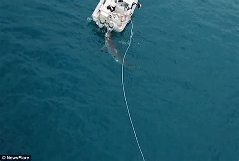 shark bites boat great white shark bites a boat off south australian coast