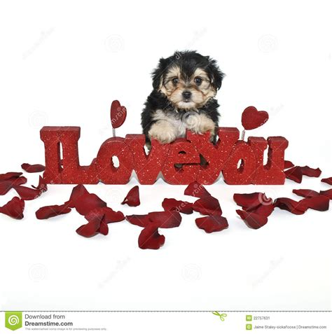 puppy i you i you yorkie poo puppy stock image image 22757631