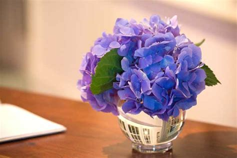 Can You Cut Hydrangeas For A Vase by Best Hydrangeas For Historic Gardens House