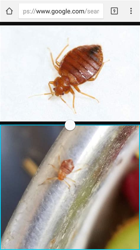 types of bed bugs what type of bug is this bed bug