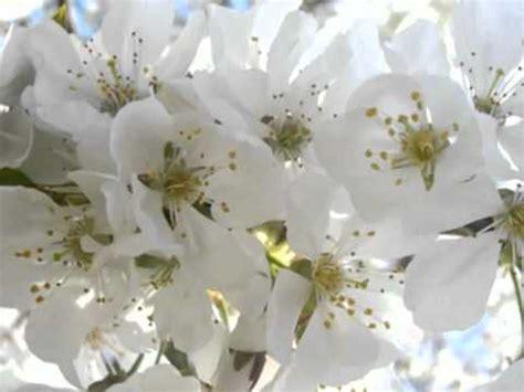 fiori bianchi per te adamo fiori bianchi