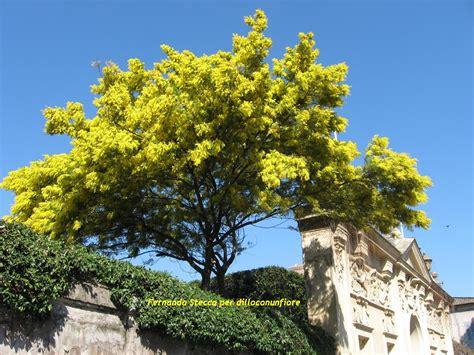 fiore mimosa immagini il tombolo di etta la mimosa