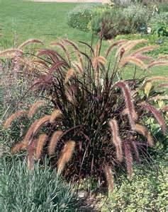 how to overwinter pennisetum setaceum rubrum laidback