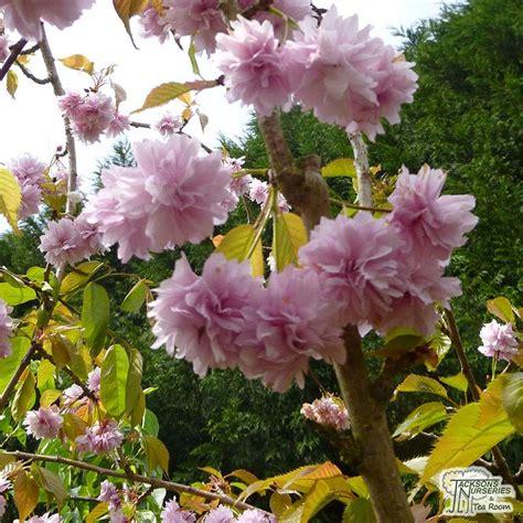 buy prunus kiku shidare zakura cheals weeping cherry