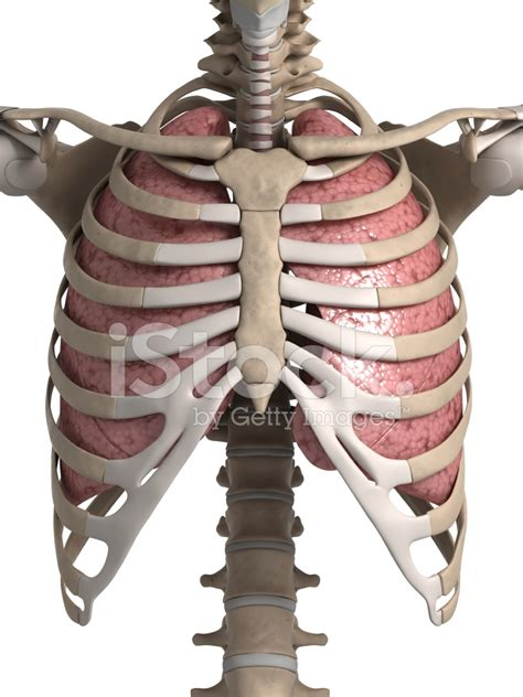 anatomia gabbia toracica polmone e gabbia toracica fotografie stock freeimages