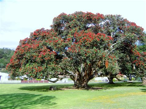 panoramio photo of pohutukawa tree new zealand