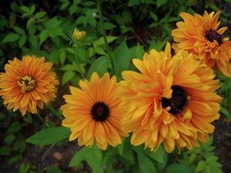 Zinnia Jazz 10benih Murah jual bibit bunga murah jual bibit bunga murah