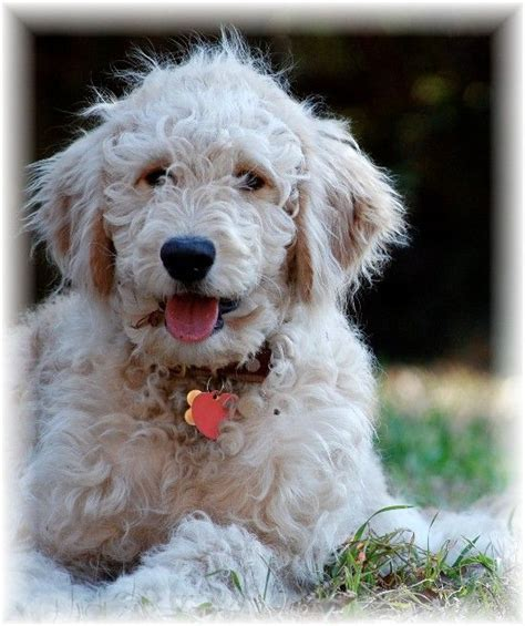 goldendoodle puppy behavior goldendoodle wavy coat f1 standard goldendoodle medium