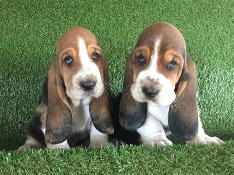 basset hound colors gorgeous kc tri colour basset hound puppies barnstaple