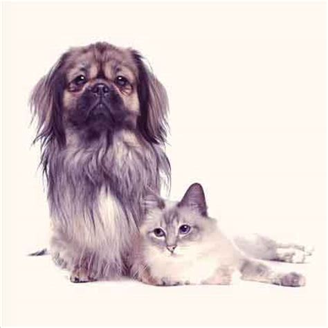 asthma in dogs causes of asthma in dogs and cats petcarerx