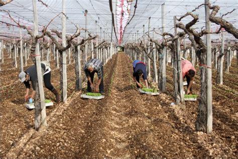 potatura vite da tavola uva da tavola in puglia il punto sulla produzione 2011