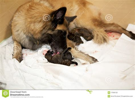 taking care of newborn puppies taking care of newborn puppy stock photography image 17656132