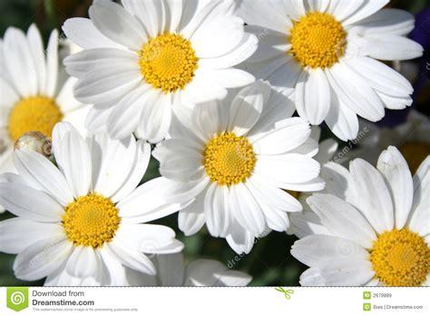 imagenes margaritas blancas margaritas felices im 225 genes de archivo libres de regal 237 as