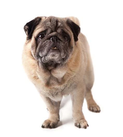 how to look after a pug best food for pugs 2018 how to feed what to feed pugs