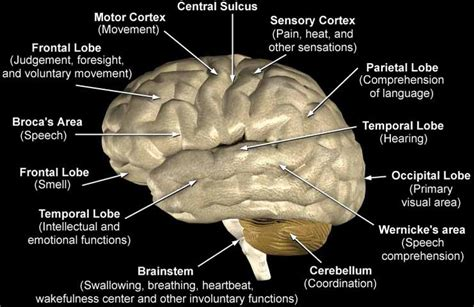 brain sections and their functions brain lobes and functions life biology evolution