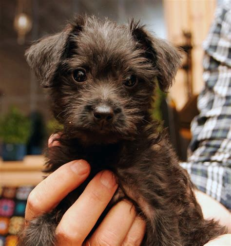poodle mix puppies miniature pinscher miniature poodle mix puppy
