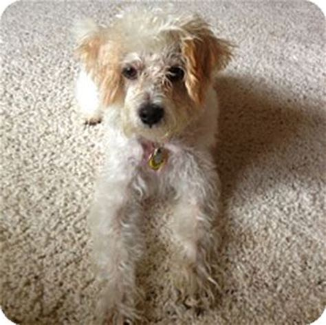 rocky mountain yorkie rescue yorkie terrier poodle or tea cup mix for adoption in
