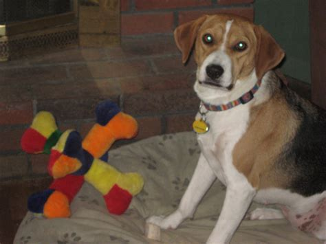 beagle puppy rescue beagle rescue league inc breeds picture