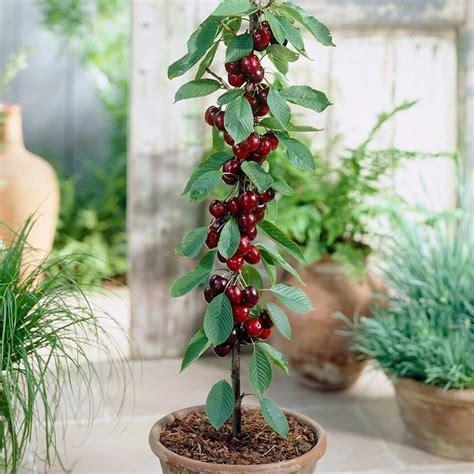 ciliegio in vaso coltivazione ciliegio frutteto come coltivare il ciliegio