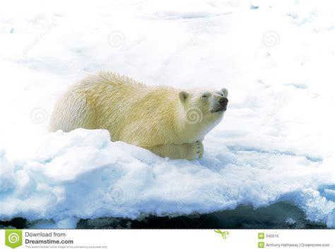 polar on royalty free stock photo image 340515