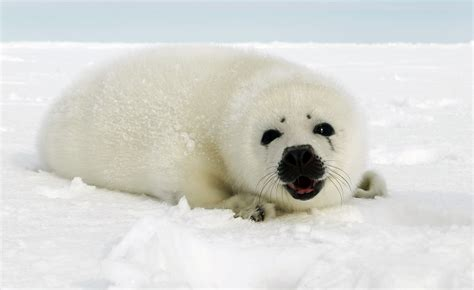 pup seal newborn harp seal pup on floe in canada