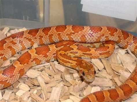 Amel Maroon corn snake care sheet from tyrannosaurus pets leeds leading reptile shop