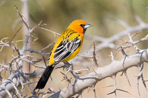 birds of southern arizona streak backed oriole audubon field guide
