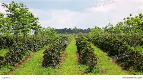 Coffee Tree industrial coffee tree plantation farm garden l stock