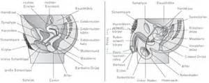 schamlippen innere geschlechtsorgane kompaktlexikon der biologie spektrum