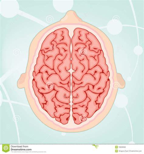 imagenes libres cerebro vista de arriba de un cerebro fotos de archivo libres de