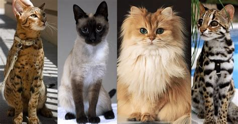 most expensive breeds 20 of the world s most expensive cat breeds costing up to 100 000 cats in care