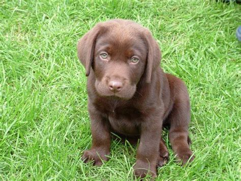 chocolate lab puppies ta 17 best ideas about chocolate labradors on