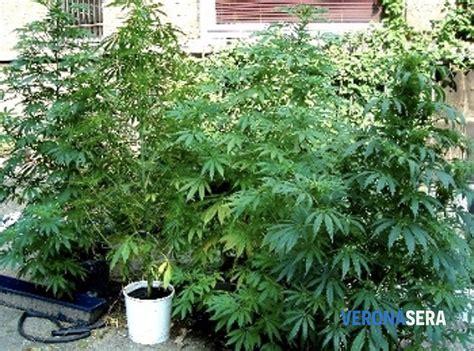 come coltivare cannabis in casa piante cannabis turrivalignani nasconde in casa 122