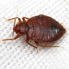 bed bug exterminator indianapolis cicada killer hornet stinger 1 4 quot long dripping with venom i am small pinterest