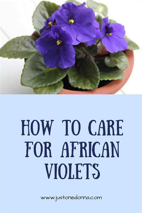 Usambaraveilchen Pflege by How To Care For Violets Just One Donna