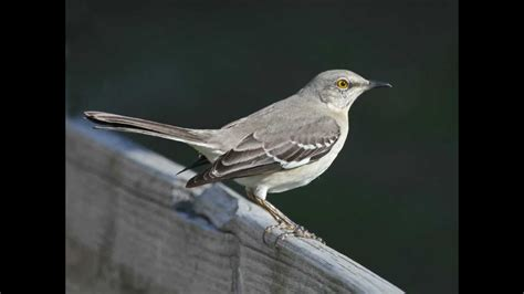 northern mockingbird mimus polyglottos night singing