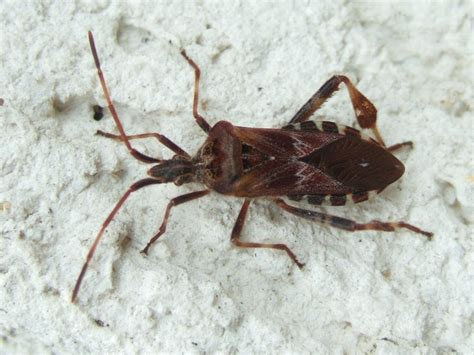heuschrecken in der wohnung insekten resort amerikanische zapfenwanze leptoglossus