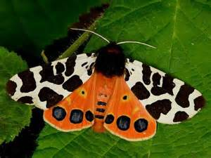Garden Tiger Moth garden tiger moth beautiful bugs