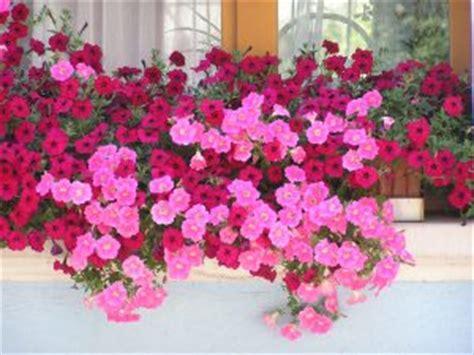 fiori per balconi soleggiati 10 fiori da balcone primaverili come scegliere quelli giusti