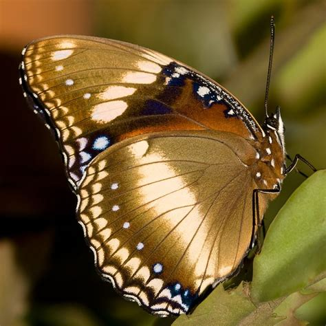 Butterfly Gold beautiful golden gold butterfly insect insects